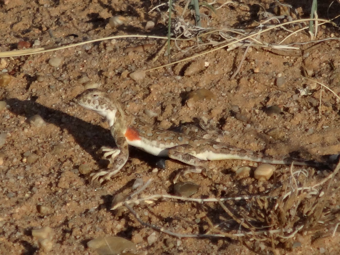 gorgeous little lizard in the desert sands near the border with Mongolia.