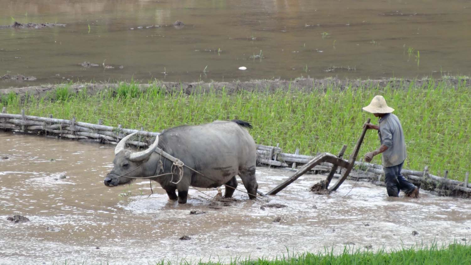 water buffaloes are still used for ploughing the rice paddies