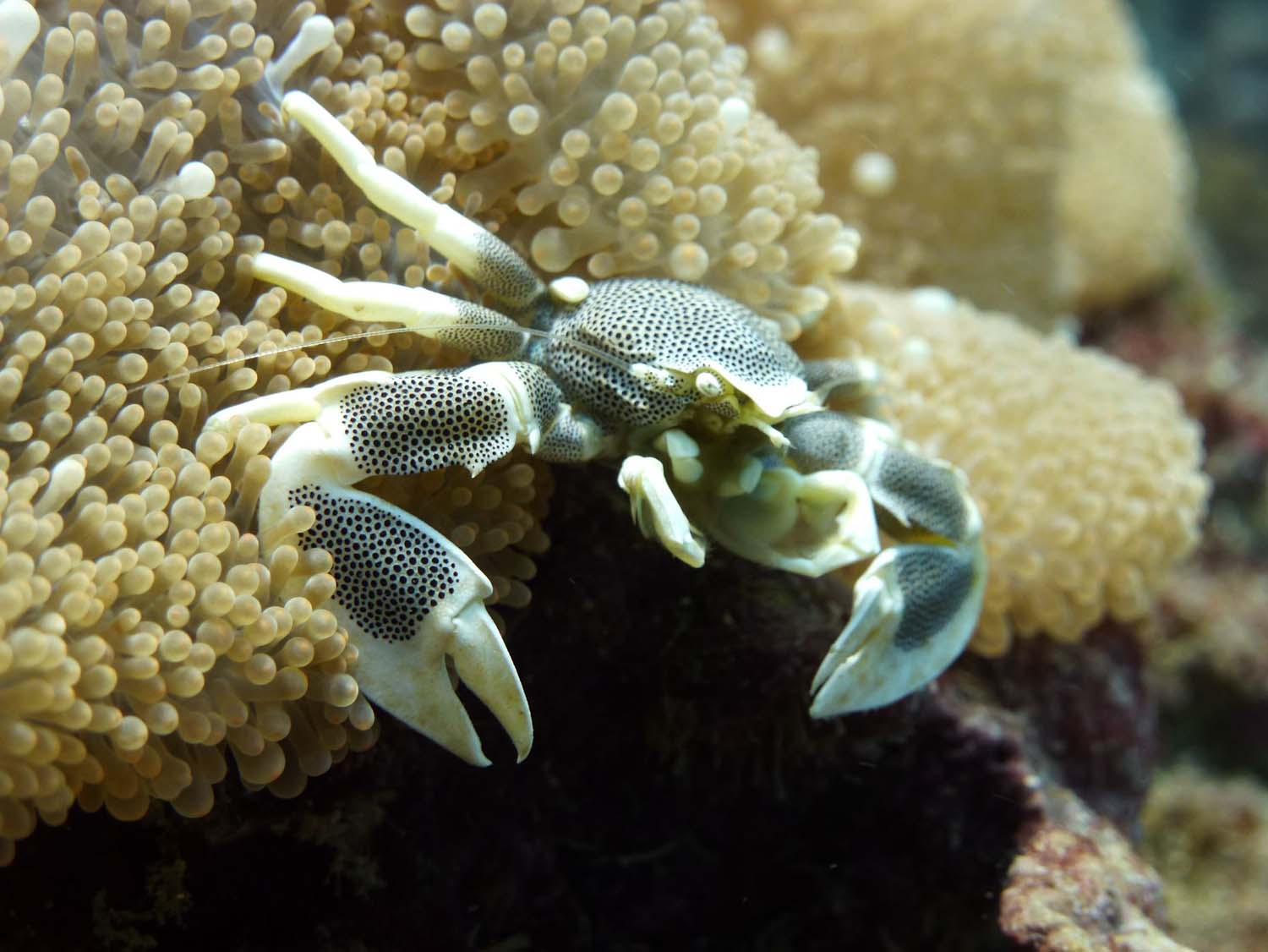 anemone crab (who hides in the anemone like a nemo fish when there is danger)