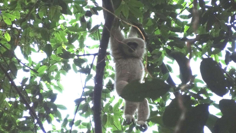 gibbon!!!