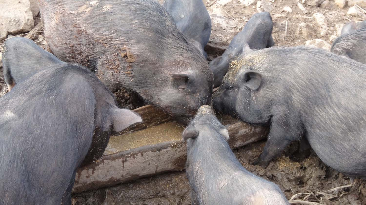 piggies in the Akha village