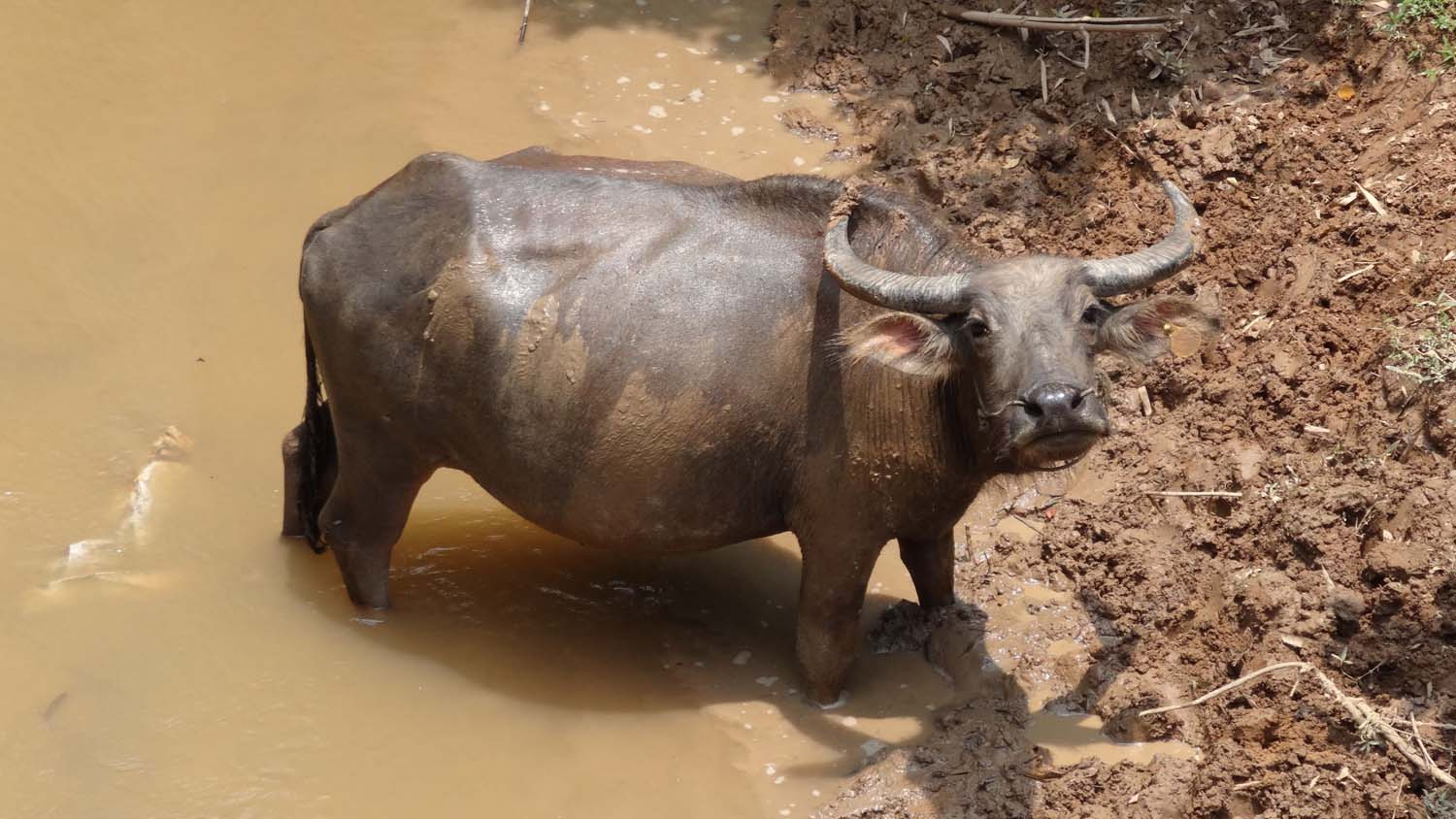 a water buffalo enjoying a mud bath