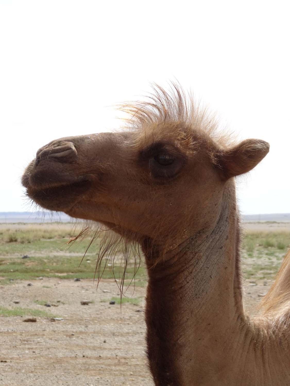 camel in the Gobi