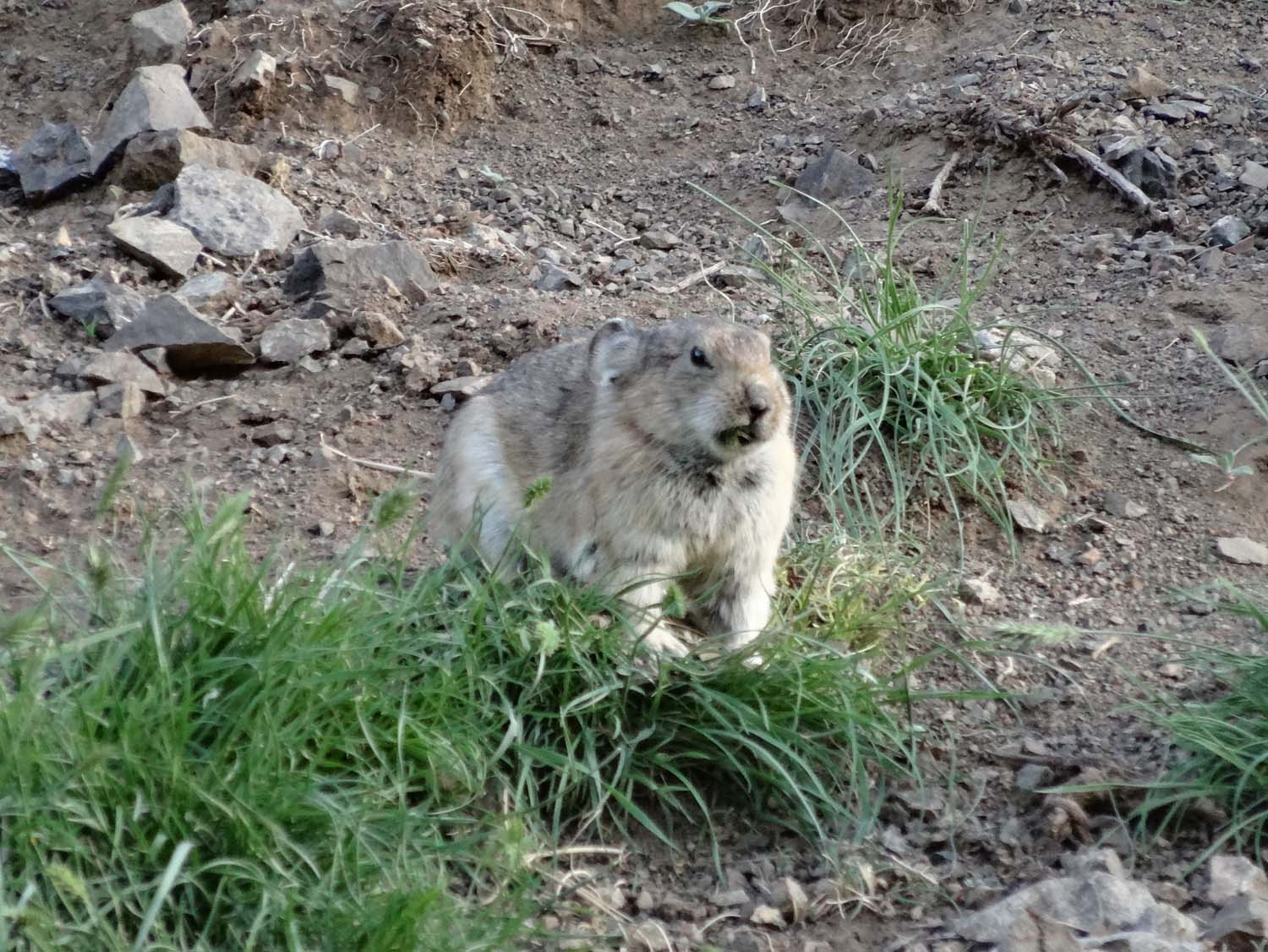 very grumpy looking pika