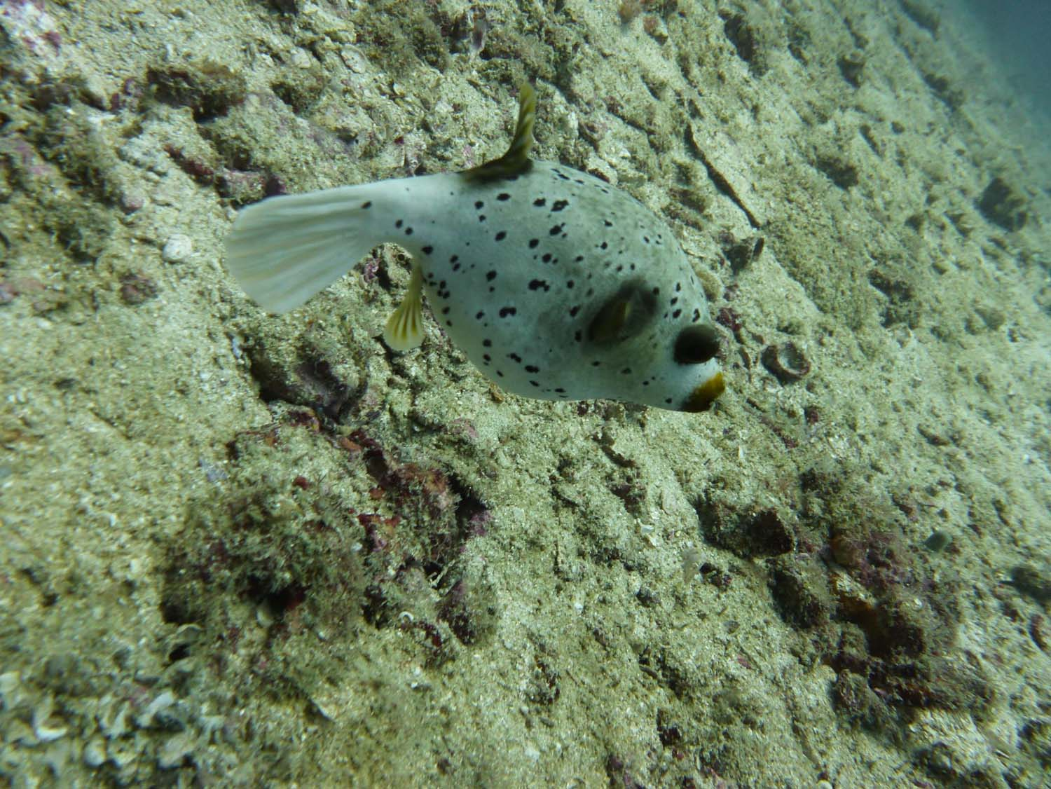 puffer fish - they make themselves a lot bigger when they feel threatened