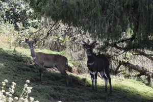 a female and male mountain nyala checking out the intruders (us) in the forested area behind the headquarters of the Bale Mountains NP