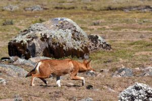 Ethiopian wolf hunting its favourite prey - the giant mole rat