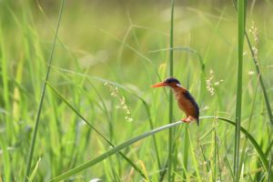 the tiny malachite kingfisher balancing on a piece of reed in Lake Baringo - so delicate