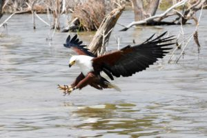 african fish eagle catching a fish in Lake Baringo