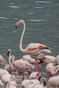 a greater flamingo surrounded by lesser flamingos in Lake Bogoria