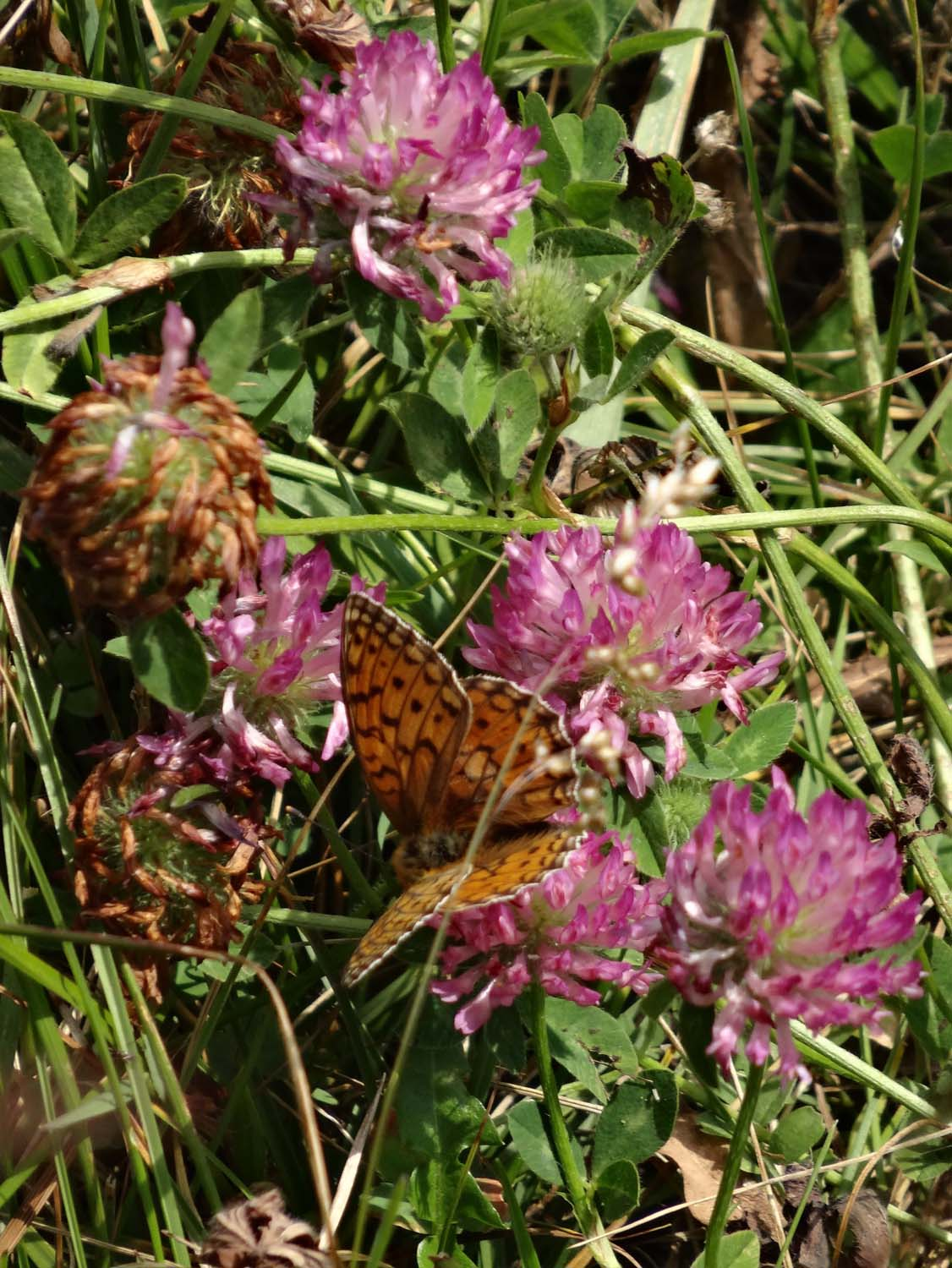 colourful butterfly on pink flowers