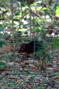 we spot 2 elephant shrews on the main island - they are fast!