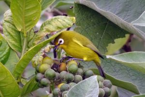 karthala white-eye - a very local bird