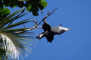 one of the largest fruit bats in the world, the Livingstone fruit bat, also called the Comoro flying fox. They can have a wingspan of 1.4m!