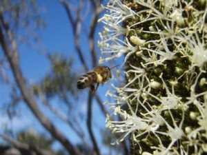 it attracts lots of bees, if you lick the flowers you can taste the sweet nectar