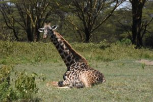 a relaxed giraffe on our small game drive