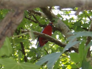 another pretty bird we saw in the Dandenongs
