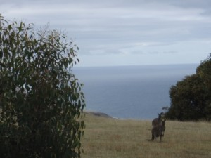 kangaroos viewed from our camp site