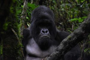 Congomani is the first mountain gorilla we see, he appears to be meditating