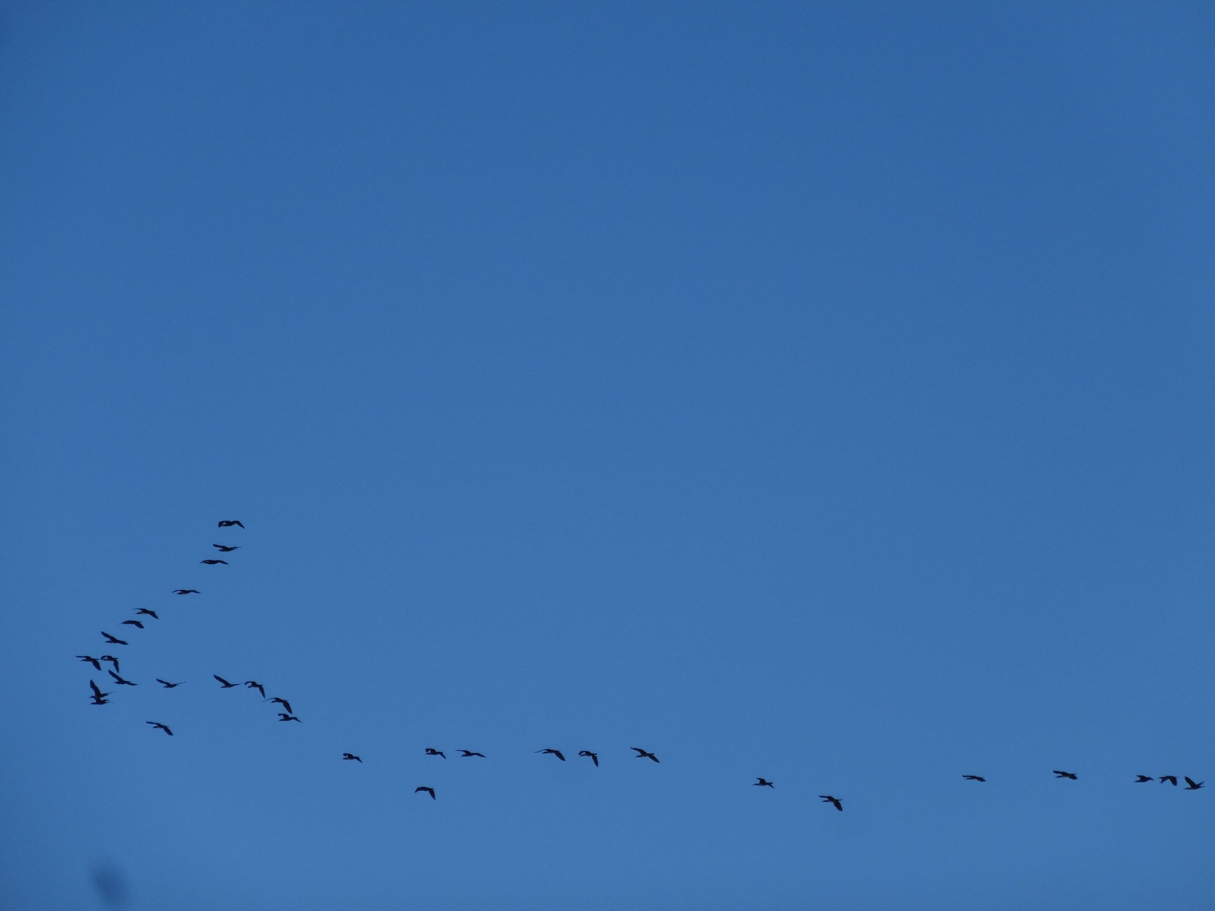 flock of geese flying past