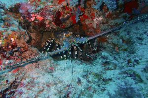 this is Alana, the giant female lobster we usually see when we dive T-wall
