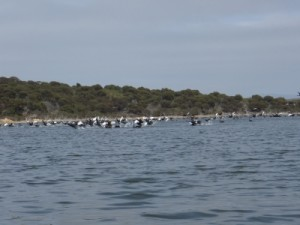 lots of pelicans