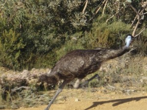 this emu is in a hurry