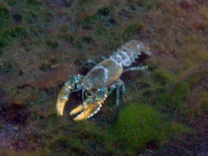 crayfish!