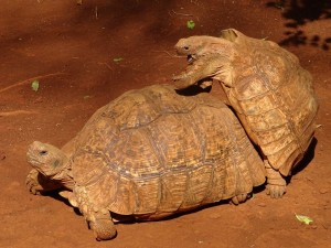 leopard tortoise having a good time