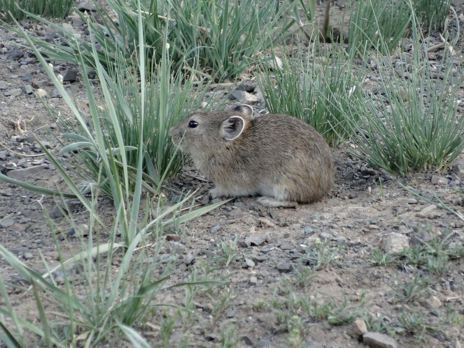 another cute one, looks like a hamster but they are called pikas