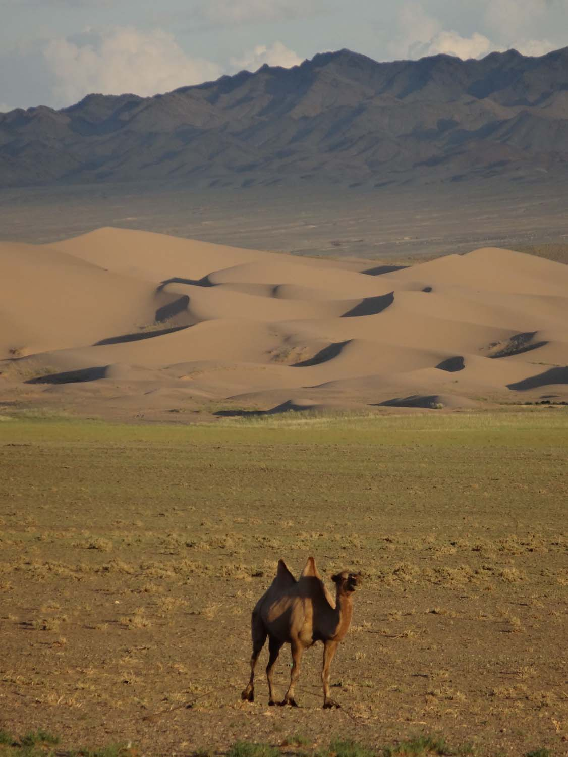 one of Ganbold's camels in front of the impressive sand dunes