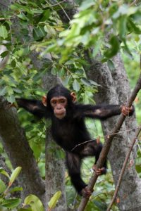 a young chimpanzee in the Gombe Stream National Park