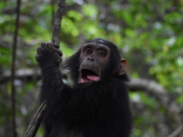 Chimpanzees in Gombe Stream NP