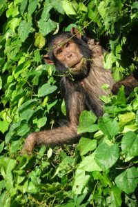 a chimpanzee munching on some vines in the Gombe Stream National Park
