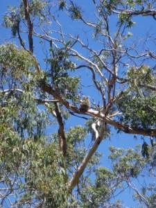 we spot some koalas!