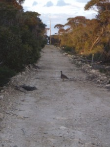 and another mallee fowl!! they are quite rare usually to see