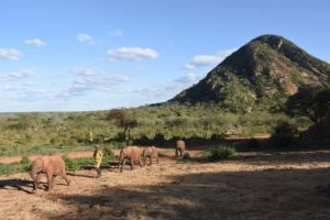 the first 4 orphaned elephants arrive at the Ithumba stockades at 5pm.