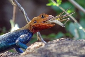hungry agama lizzard