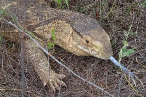 a savanna monitor