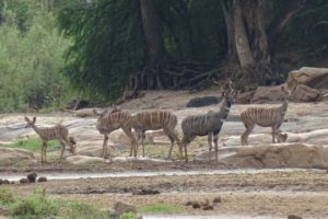 we did see other animals too, like this male lesser kudu with his harem