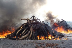 many large tusks were still intact