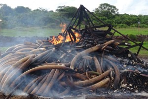 they expect it to burn around 4-6 days before all the tusks are destroyed