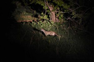 a common genet on one of our night drives