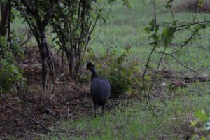 a crested guineafowl, new bird for us!