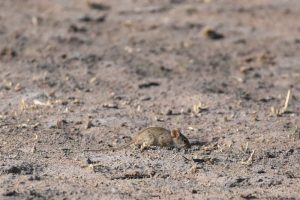a small mouse comes out to eat amongst the small birds
