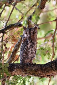 a first for us - we find an African scops owl