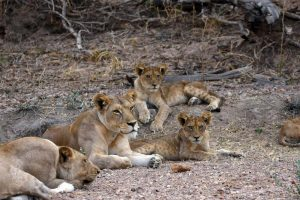 just before we fly home we find the young lions
