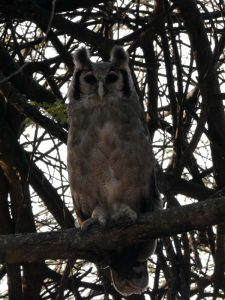 a huge verreaux' eagle owl looks at us curiously