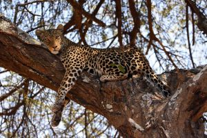 lepard relaxing in a tree right next to the airstrip