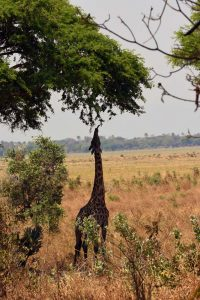 even the tall giraffes struggle to reach the juiciest leaves, they create the shapes of the trees by their ability to reach parts of trees